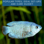 Gouramis: Popular Types, Ideal Set-Ups and Care Guide - pin