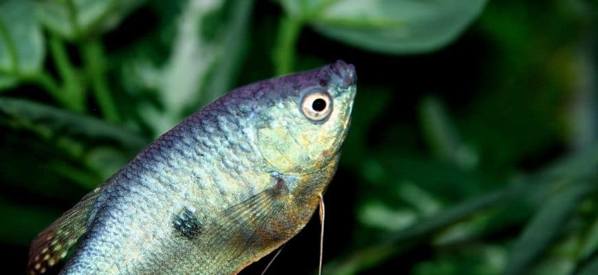 Gray Gourami fish with blurry green plants background
