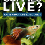 How Long Do Guppies Live? Facts About Life Expectancy - pin