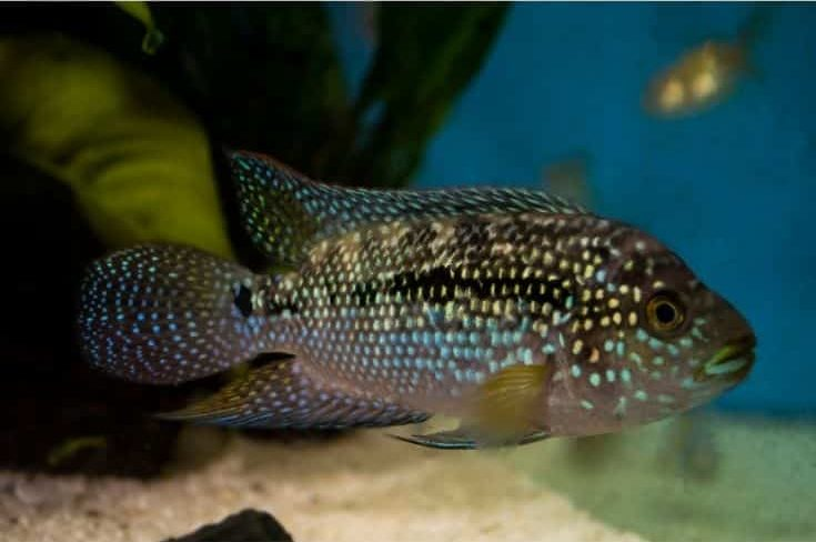 Jack Dempsey Cichlid Fish
