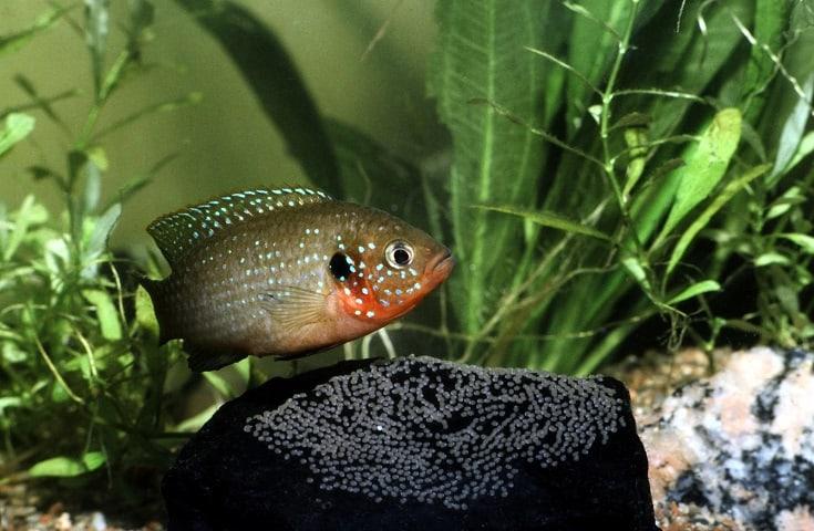 Jewel Cichlid, Hemichromis Bimaculatus, Female protecting eggs