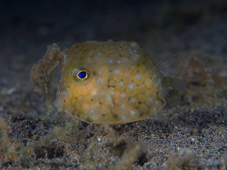 Halmahera, Indonesia - juvenile cowfish or boxfish