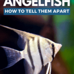 Male Vs. Female Angelfish: How To Tell Them Apart - pin