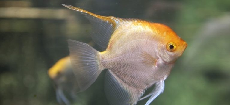 Angelfish in blurry background