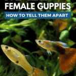 Male Vs. Female Guppies: How To Tell Them Apart - pin