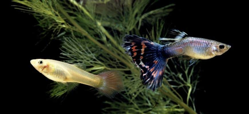 Two guppies swimming in black background with green plant