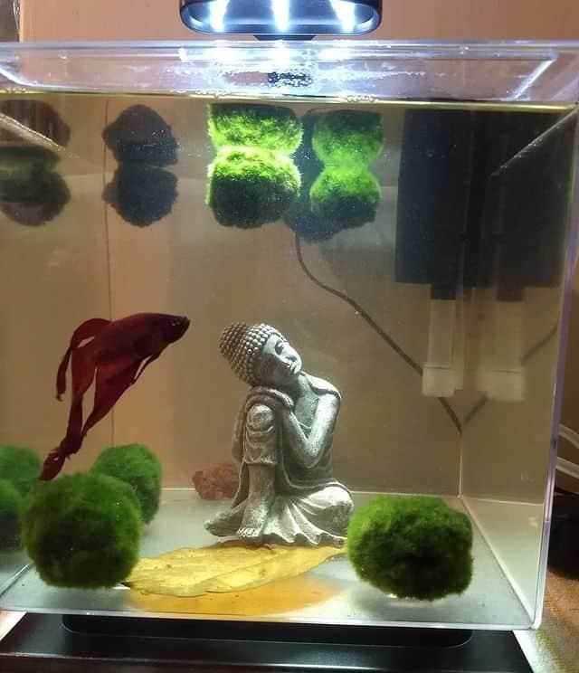 red betta fish inside a zen aquarium minimalist setup with a buddha on the center