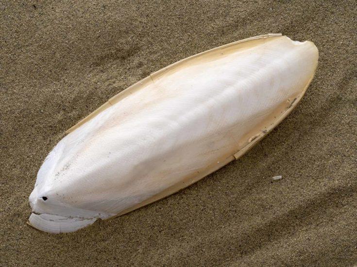 Found, natural Cuttlefish bone aka cuttlebone, the internal shell of cephalopod. On sand. Fed to pet birds, budgies etc.
