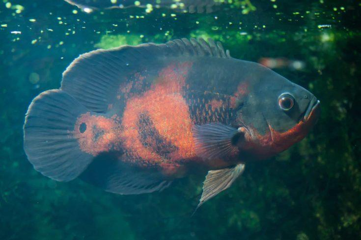 Oscar fish (Astronotus ocellatus). Wildlife animal.