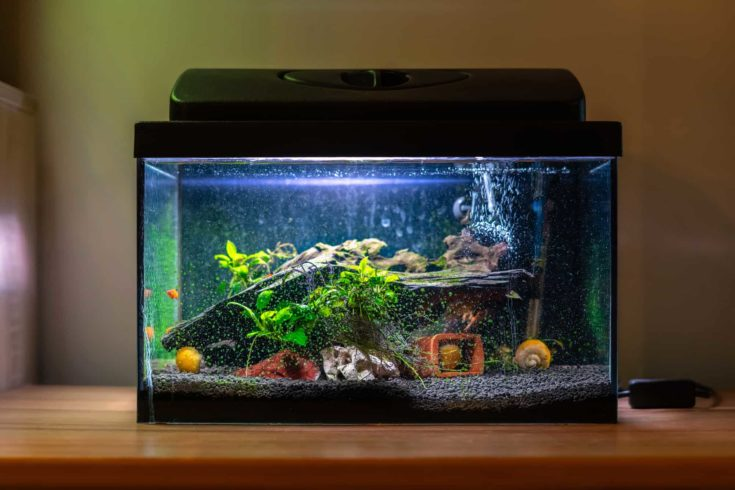 Small fish tank aquarium with colourful snails and fish at home on wooden table.