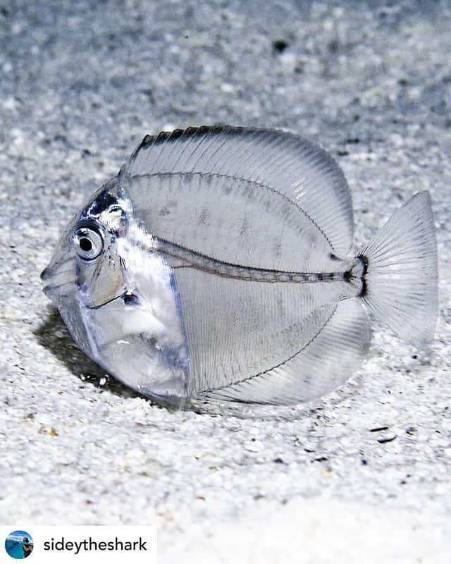Transparent Juvenile Surgeonfish in gray background