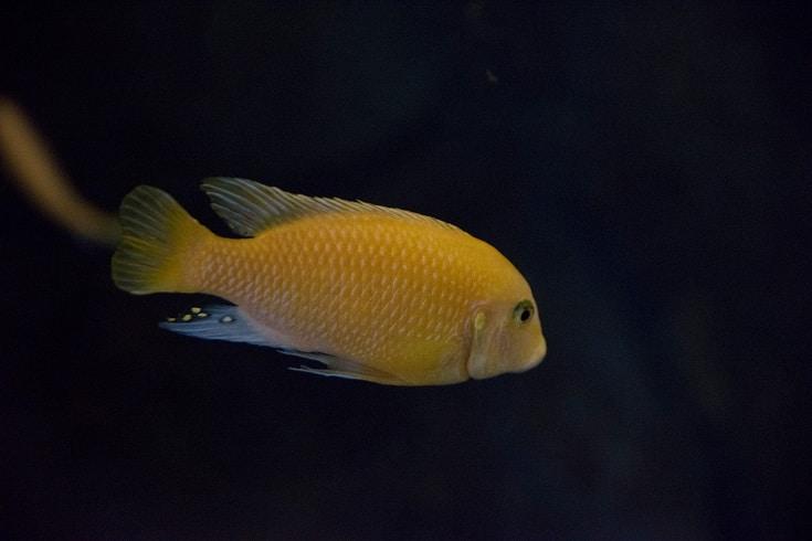 Yellow Lab cichlid in black background