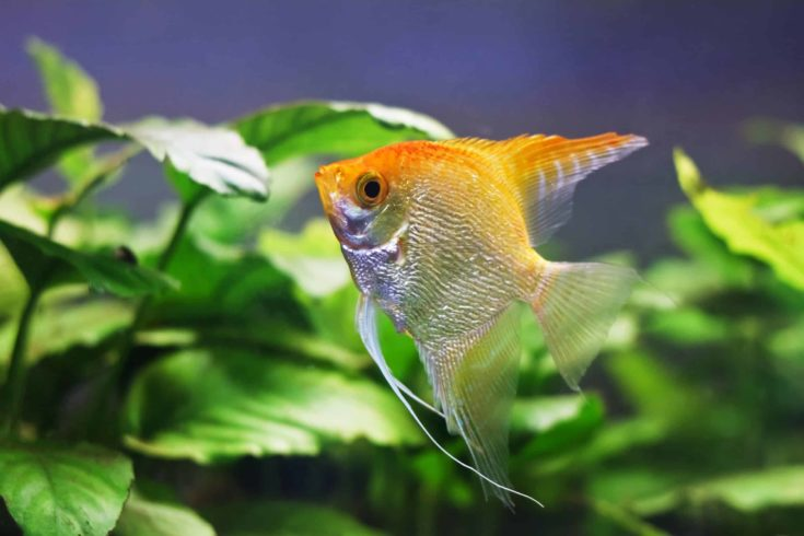 young, curious adult female angelfish