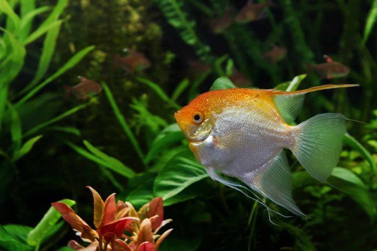 young healthy angelfish male