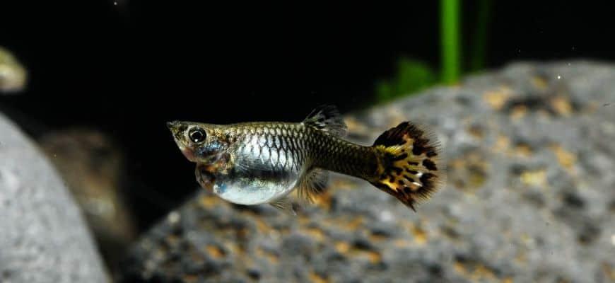 Guppy fish pregnant