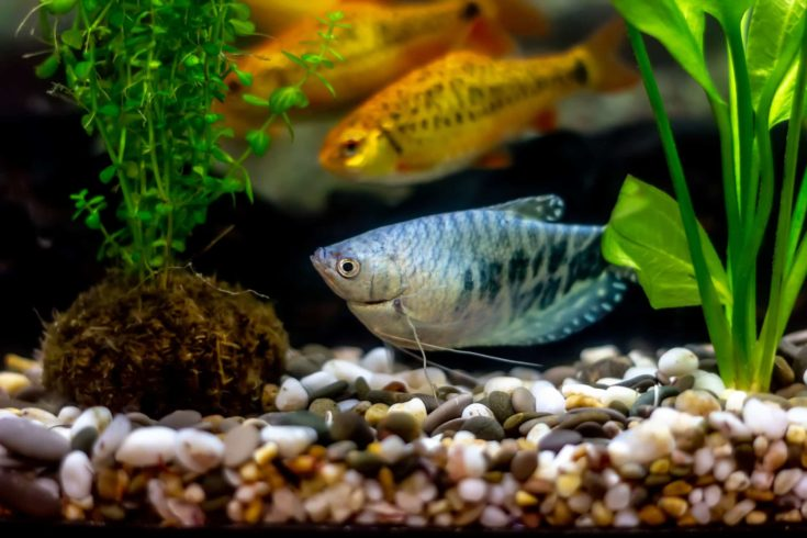 Blue gourami - known as anabantoids or labyrinth fish with dark spots and a long mustache and schuberti barbs