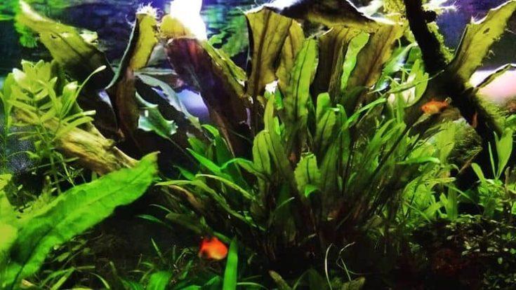 Green Spot Algae in aquarium plants