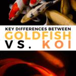 Key Differences Between Goldfish Vs. Koi - pin