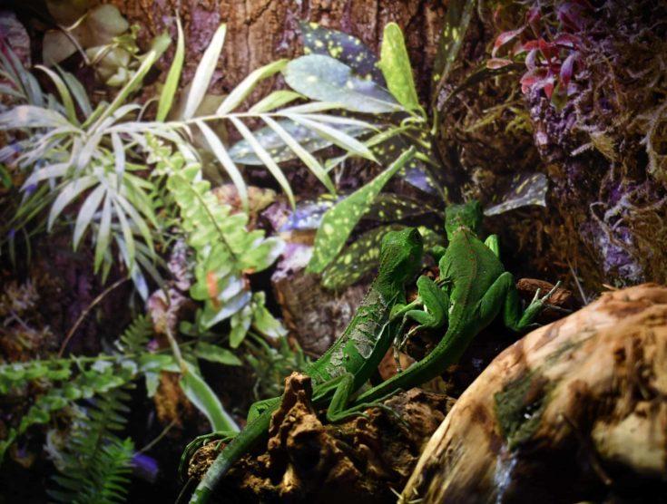 A shot of two green lizards on the Aqua-terrarium / Paludarium
