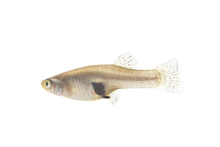 female Mosquitofish in front of white background