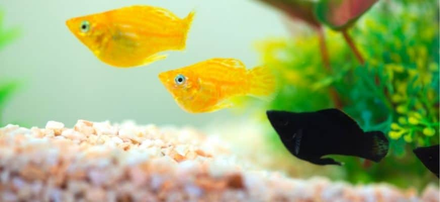 Yellow and black fishes swimming in the aquarium