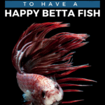 17 Tips To Have A Happy Betta Fish - Pin