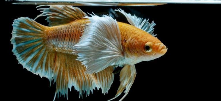 Bi-color betta fish in a black background.