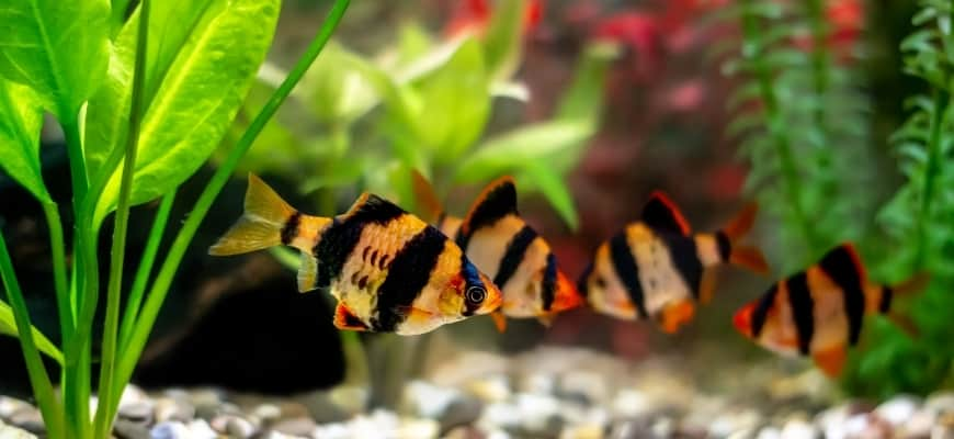 A green beautiful planted tropical freshwater aquarium with tiger barb fishes