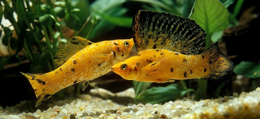 Dotted black yellow molly fish.