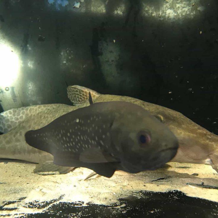 Focused of Afer Knife fish.