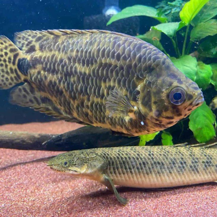 Huge African Leaf Fish