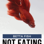 Betta Fish Not Eating - Reasons, Solutions, And Tips - Pin