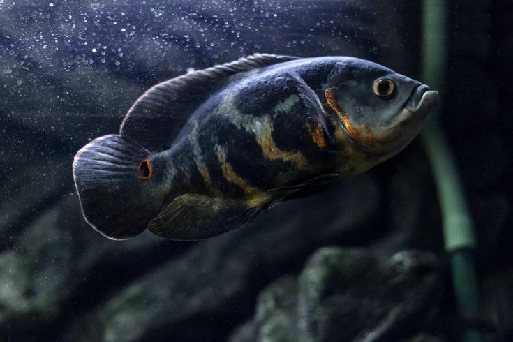 Aquarium fish. Cichlid astronotus, or Oscar.