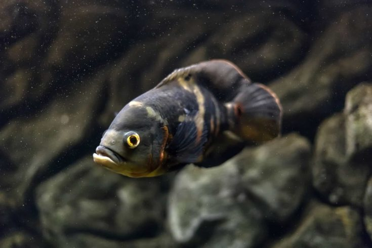 Stronotus cichlid or an Oscar. Fish from the Amazon basin