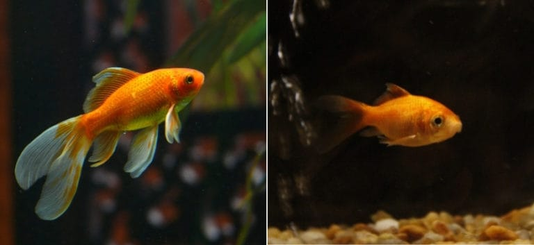 Comet and Common Goldfish