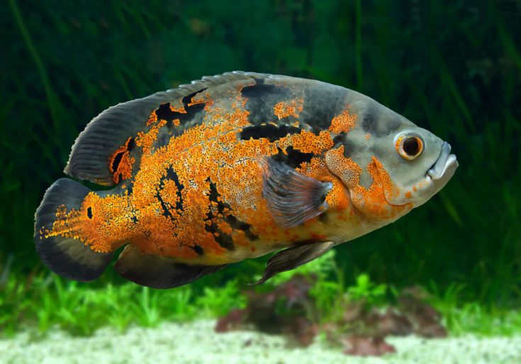 Bright Oscar Fish - South American freshwater fish from the cichlid family