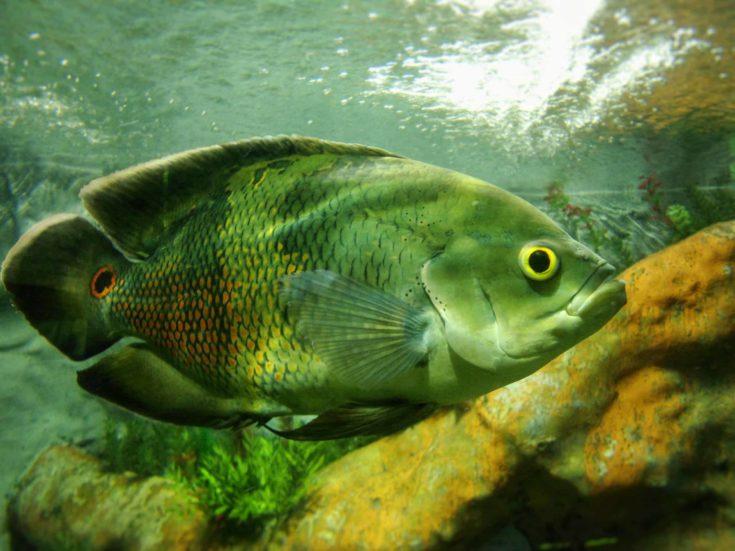 Great specimen of Astronotus ocellatus (Oscar fish)