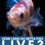 How Long Do Betta Fish Live Here's How To Extend Their Lifespan! - Pin