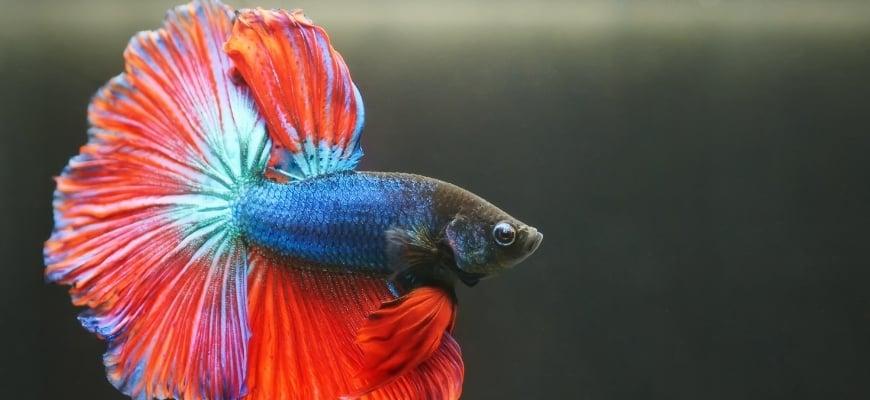 Betta splenden fish