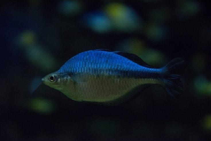 Lake Kutubu Rainbowfish