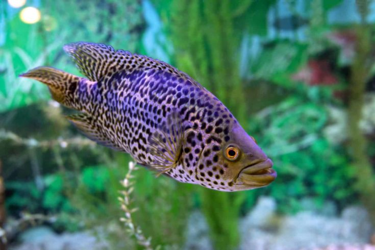 Parachromis Managuensis or Managuense Cichlid Fish on Aquarium