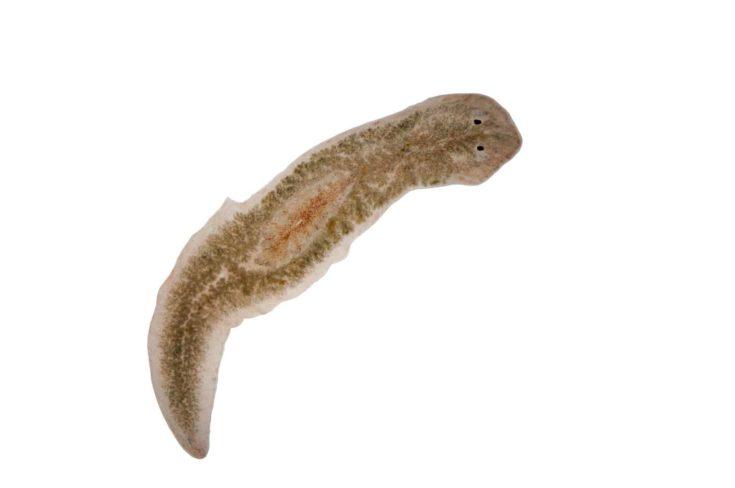Planaria flatworm, under microscope view.