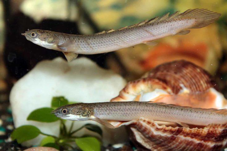 Senegal bichir aquarium fish