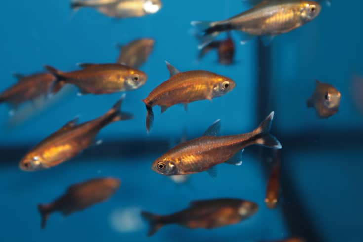Silvertip tetra (Hasemania nana) aquarium fish