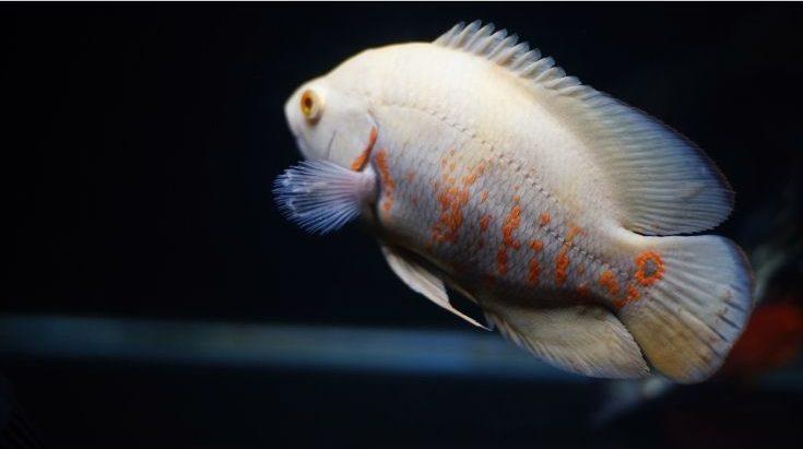 White Oscar fish