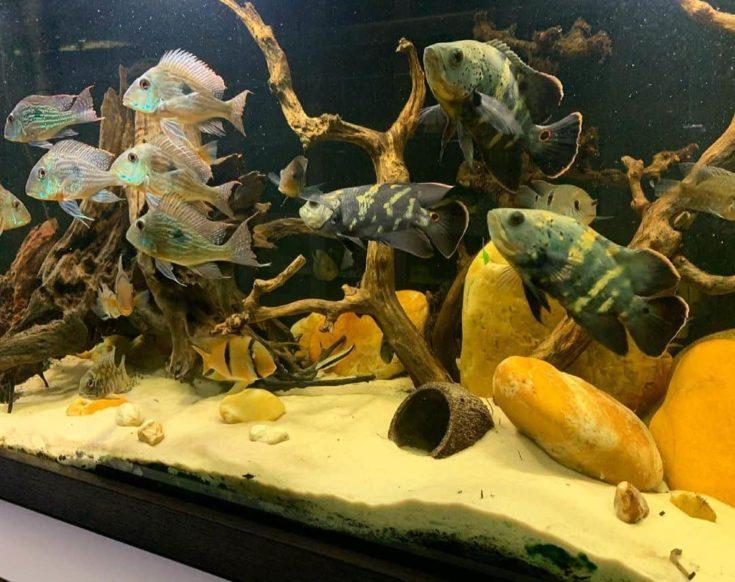 Wild Oscar in aquarium