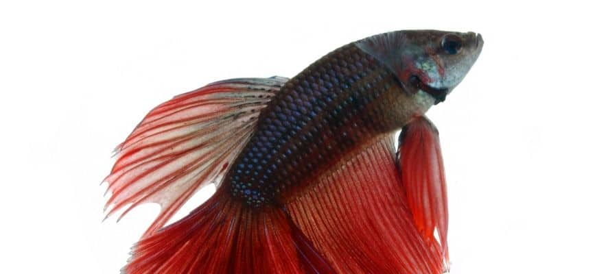 Betta fish in white background