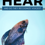 Can Betta Fish Hear And Do They Recognize Voices - Pin