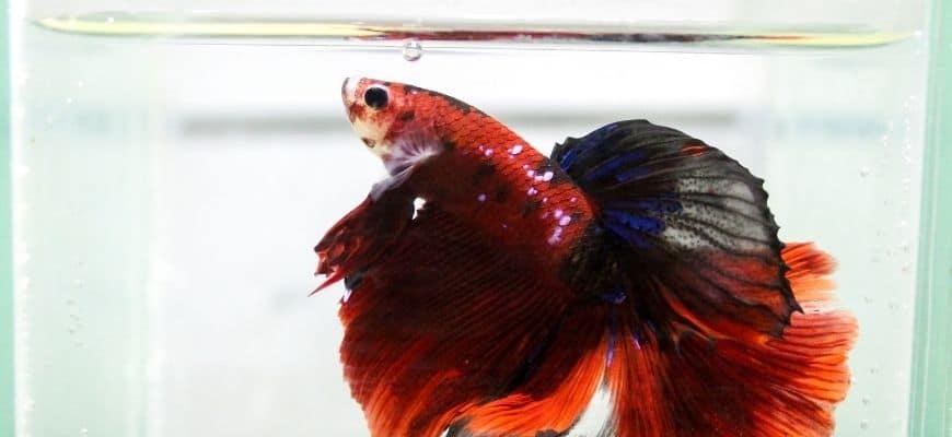 Betta fish, siamese fighting fish, betta splendens isolated on small tank