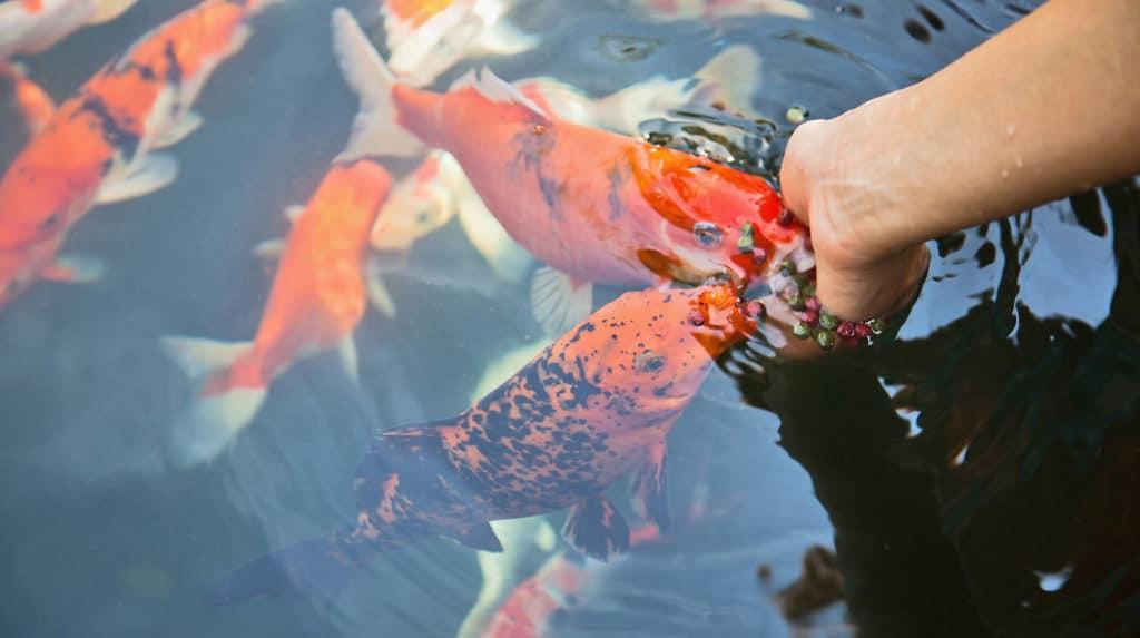 a close up shot of a human hand feeding the koi fish